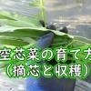 空芯菜の摘芯と収穫
