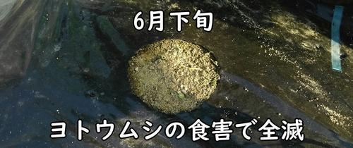 ヨトウムシに食べられた空芯菜