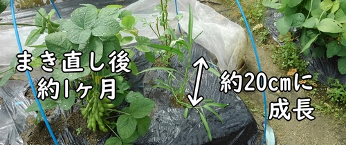 約20cmに成長した空芯菜