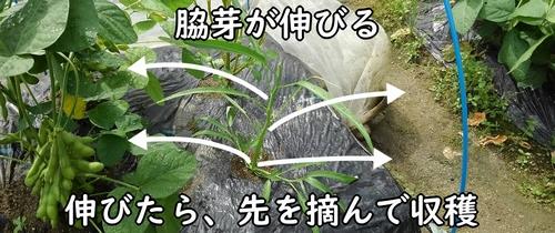 摘芯後は脇芽を伸ばす