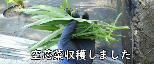 収穫した空芯菜
