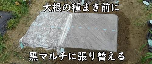 透明マルチは、大根の種まき前に張り替える