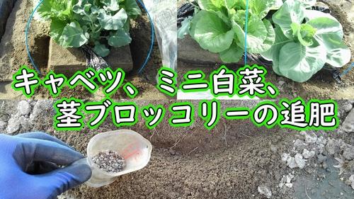 キャベツとミニ白菜と茎ブロッコリーの追肥