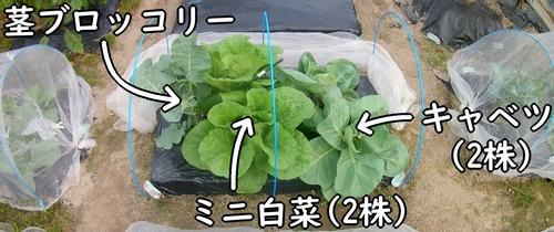 キャベツとミニ白菜と茎ブロッコリーの畝