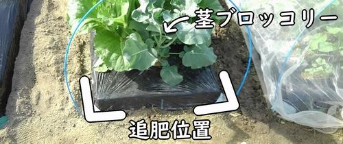 茎ブロッコリーの追肥位置