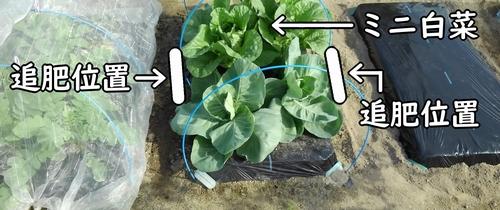 ミニ白菜の追肥位置