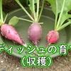 ラディッシュの収穫