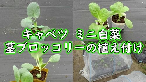 キャベツ、ミニ白菜、茎ブロッコリーの植え付け