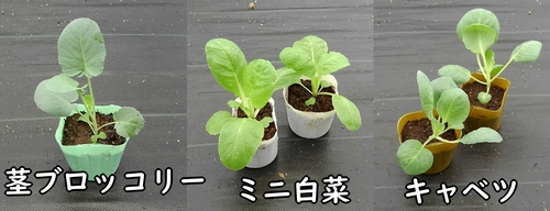 キャベツ、ミニ白菜、茎ブロッコリーの苗