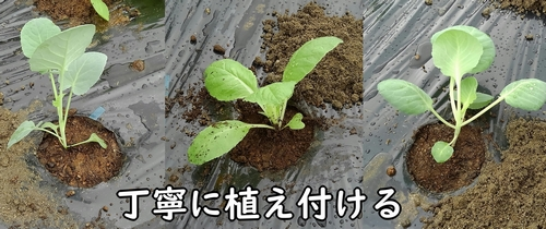 キャベツ、ミニ白菜、茎ブロッコリーの苗を植え付ける