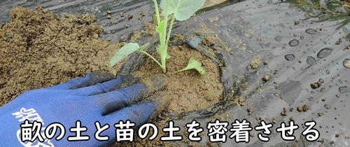 苗の土を畝の土に密着させる