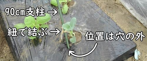 茎ブロッコリーは支柱で支える