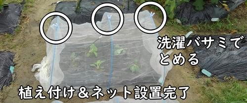 苗の植え付け&ネット設置完了