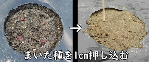 爪楊枝で種を1cm押し込む