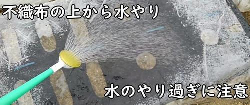不織布の上から水やりをする