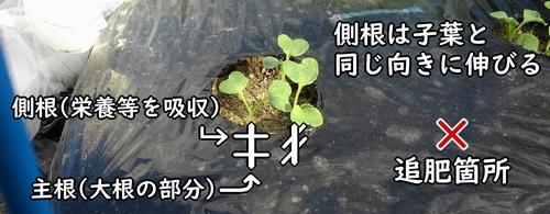 側根と子葉の関係