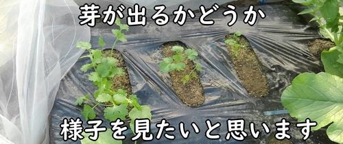 パクチーの種が発芽しますように
